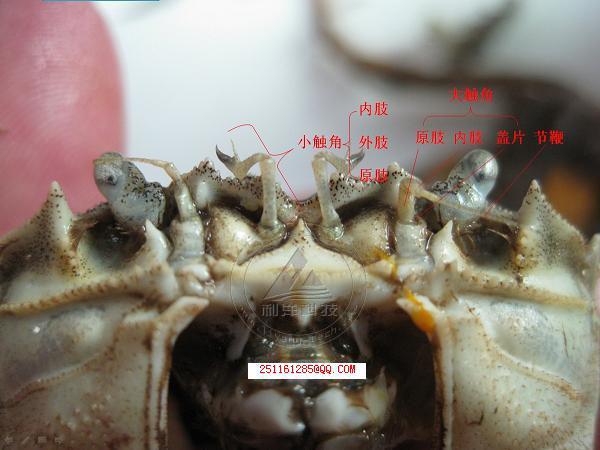 河蟹外部结构示意图