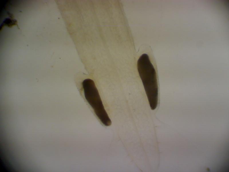 毛颚动物对鲈鱼鱼苗及桡足类的摄食能力很强,如何处理